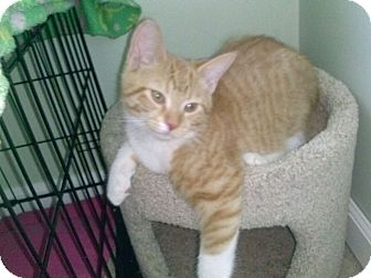 Domestic Shorthair Cat for adoption in Warren, Michigan - Bootsie