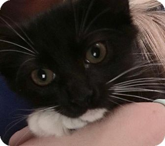 Domestic Mediumhair Kitten for adoption in Gainesville, Florida - Cri Kee