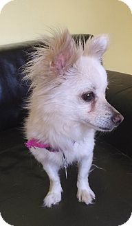 Pomeranian Mix Dog for adoption in Philadelphia, Pennsylvania - Sprite