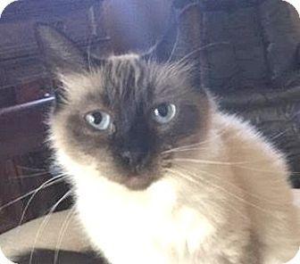 Siamese Cat for adoption in Davis, California - Cerci