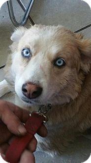 Australian Shepherd/Anatolian Shepherd Mix Dog for adoption in San Ysidro, California - Carmine