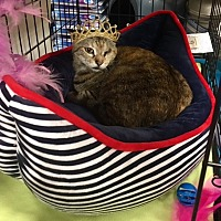 Domestic Shorthair Cat for adoption in Oviedo, Florida - Mommy the Sweetheart