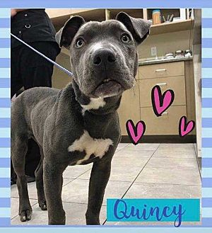 American Pit Bull Terrier Mix Dog for adoption in Calimesa, California - Quincy