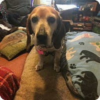 Beagle/Bluetick Coonhound Mix Dog for adoption in Wrightsville, Pennsylvania - Lexi