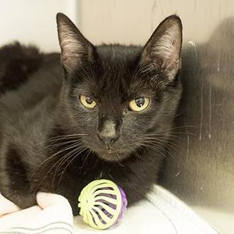 Domestic Shorthair/Domestic Shorthair Mix Cat for adoption in Richmond, Virginia - Blaire