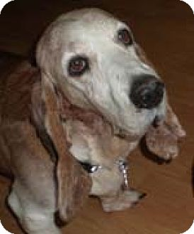 Basset Hound Dog for adoption in Charleston, South Carolina - Ginger