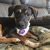 Adopt A Pet :: Rerun - Las Vegas, NV