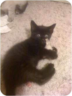 Domestic Shorthair Kitten for adoption in Tracy, California - Reedley-ADOPTED!