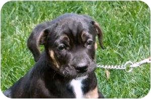 Rottweiler Mix Puppy for adoption in Paris, Illinois - lil Del