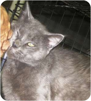 Domestic Shorthair Cat for adoption in Alden, Iowa - Slater