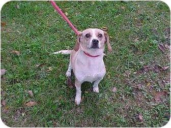 Beagle Dog for adoption in Beacon, New York - Smiley