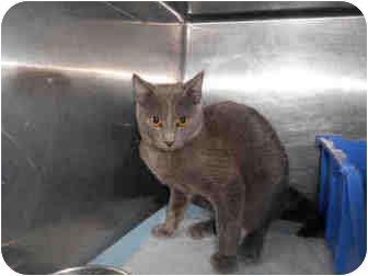 Domestic Shorthair Cat for adoption in Yuba City, California - Flash
