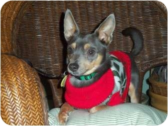 Miniature Pinscher Dog for adoption in Kokomo, Indiana - Remington Steele