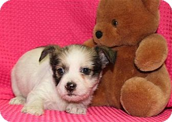 Chihuahua/Terrier (Unknown Type, Small) Mix Puppy for adoption in Salem, New Hampshire - Dryer