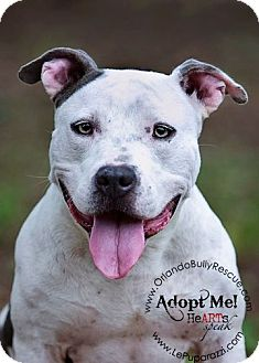 American Pit Bull Terrier/American Pit Bull Terrier Mix Dog for adoption in Orlando, Florida - Penelope