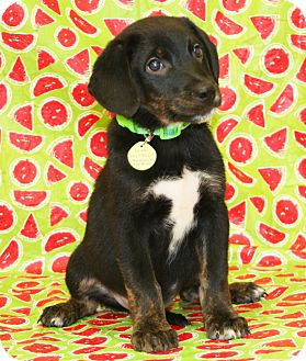 Shepherd (Unknown Type)/Labrador Retriever Mix Puppy for adoption in Westminster, Colorado - Harlow