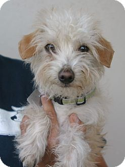 Silky Terrier/Yorkie, Yorkshire Terrier Mix Puppy for adoption in Santa Ana, California - Timmy 5 lbs