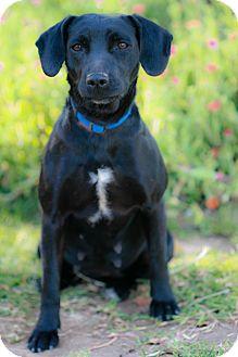 Labrador Retriever Mix Dog for adoption in El Cajon, California - ARIEL, nice size!