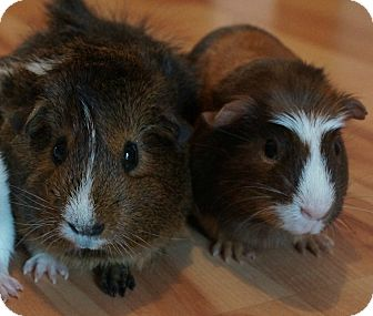 Guinea Pig for adoption in Brooklyn Park, Minnesota - Penny & Mia
