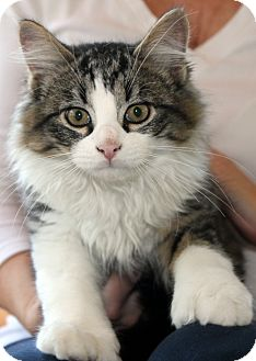 Domestic Longhair Kitten for adoption in Brimfield, Massachusetts - Kovu