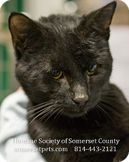 Domestic Shorthair Cat for adoption in Somerset, Pennsylvania - Jasper
