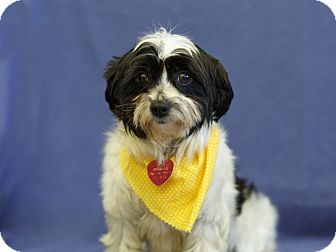 Havanese Mix Dog for adoption in Ile-Perrot, Quebec - Toundra