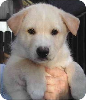 Norwegian Elkhound/Siberian Husky Mix Puppy for adoption in Rolling Hills Estates, California - Tanner