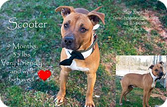 Boxer/Staffordshire Bull Terrier Mix Puppy for adoption in Orangeburg, South Carolina - Scooter