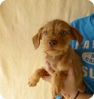 Brussels Griffon Mix Puppy for adoption in Oviedo, Florida - Jay Jay
