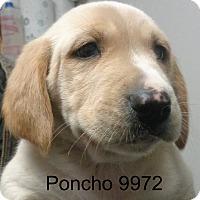 Adopt A Pet :: Poncho - Greencastle, NC