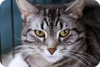 Domestic Shorthair Cat for adoption in Chicago, Illinois - Lucille Claw