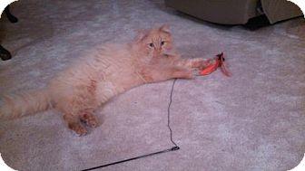 Domestic Mediumhair Cat for adoption in Parkville, Missouri - Amarillo