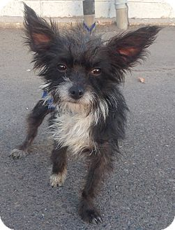 Terrier (Unknown Type, Small) Mix Dog for adoption in Phoenix, Arizona - Biscotti