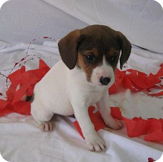 Beagle Mix Puppy for adoption in Newburgh, Indiana - female 4 burress
