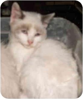 Siamese Kitten for adoption in Aledo, Illinois - Kholarabi