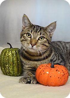 Domestic Shorthair Cat for adoption in Dublin, California - Romeo