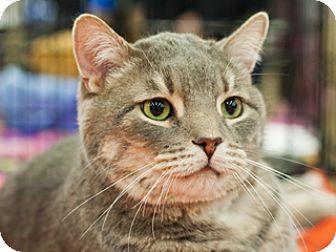 Domestic Shorthair Cat for adoption in Great Falls, Montana - Jorda