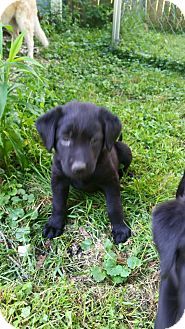 German Shepherd Dog/Labrador Retriever Mix Puppy for adoption in Sharon Center, Ohio - Princess Peach - Pending