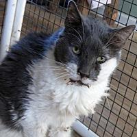 Domestic Shorthair Cat for adoption in Penndel, Pennsylvania - Fedora