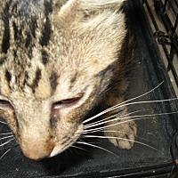 Domestic Shorthair Cat for adoption in Fallon, Nevada - Caleb