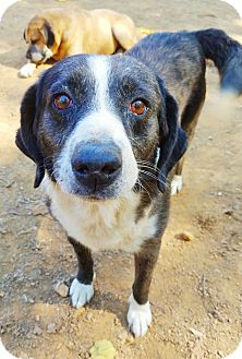 Australian Cattle Dog/Beagle Mix Dog for adoption in Kingston, Tennessee - Stuart