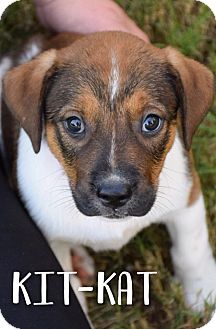 Beagle Mix Puppy for adoption in DFW, Texas - Kit-Kat