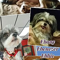 Adopt A Pet :: Ebenezer - bridgeport, CT