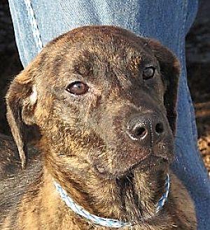 Plott Hound/Labrador Retriever Mix Puppy for adoption in Germantown, Maryland - Teddi