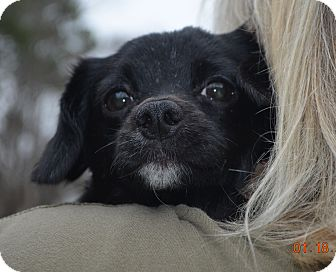 Chihuahua/Poodle (Miniature) Mix Dog for adoption in Brattleboro, Vermont - Fancy~Adopted