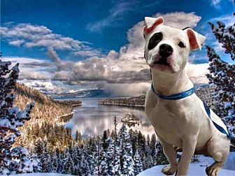 Pit Bull Terrier Dog for adoption in Fairfield, California - CHICO