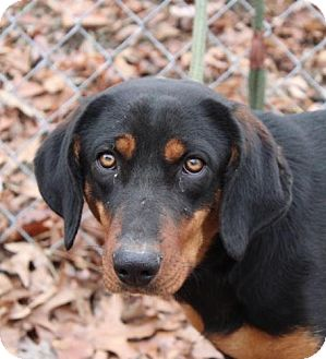 Coonhound Mix Dog for adoption in Allentown, Pennsylvania - Sandy