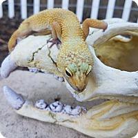 Adopt A Pet :: Hibiscus - Saugus, CA