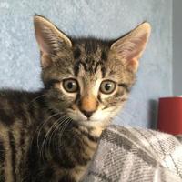 Adopt A Pet :: Wisteria 1 - Baltimore, MD