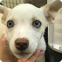 Adopt A Pet :: Spark - Sunnyvale, CA